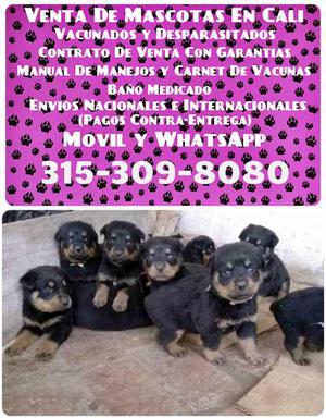 Mascotas para la venta de raza original Rottweiler
