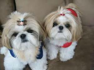 Busco Perro de Raza Pequeña en Adopción