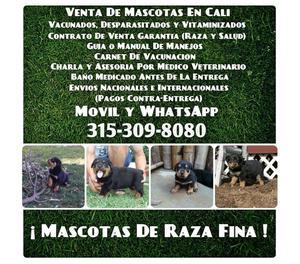 Disponemos de cachorros Rottweiler en venta