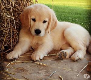 Garantizamos Excelentes Golden Retriver Cachorritos