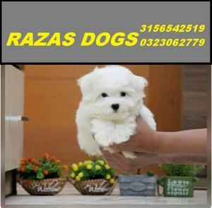 Bichon Maltes Canes Razas Puppies