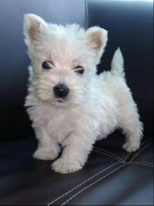 Vendo Hermoso Cachorro Westy Terrier