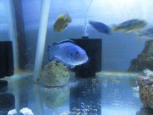 Peces Ciclidos Azul Cobalto Pareja Adulta