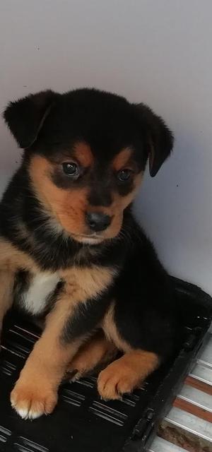 Hermosa Cachorra de Rottweiler