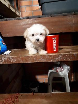 Hermosa French Poodle Tacita de Te Hembr