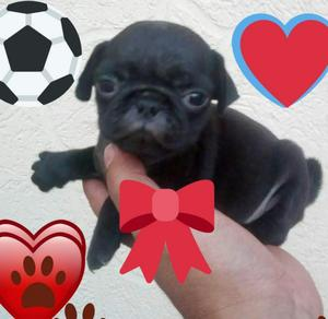 Hermoso Cachorro Pug Negro