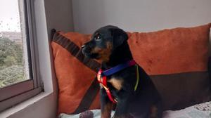 Vendo Hermosos Rottweiler Raza Pura