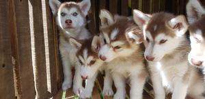Husky Siberianos