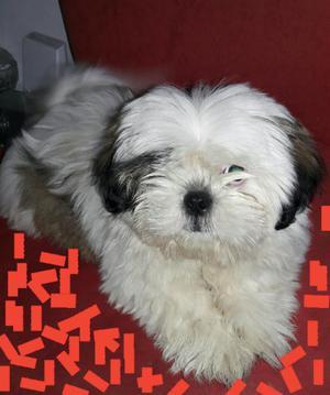 Vendo Hermoso Cachorro Chitzu