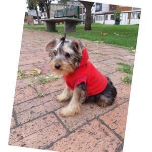 machito yorkshire terrier manto plata