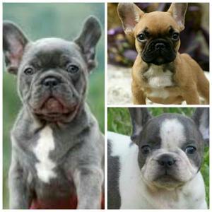 Bulldog Frances Blue..pied Blue Y Fawn
