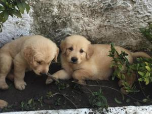 Cachorros Golden en Venta