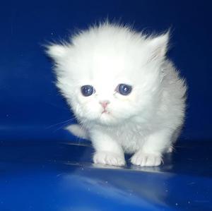 Hermosa Gatita Persa Blanca para Reserva