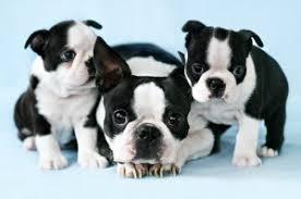 cachorros de boston terrier