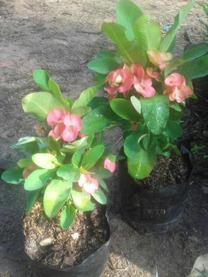 Vendo Planta de Flor Y Pinos