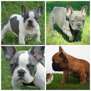 Bulldog Frances Blue. Pied Blue Y Fawn