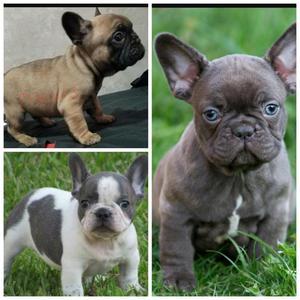 Bulldog Frances Pied Blue Y Blue Y Fawn