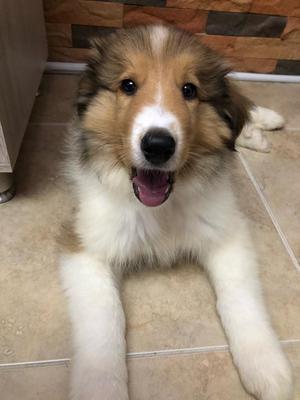 Se Vende Hermoso Cachorro Pastor Collie