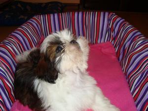 Cachorrita shihtzu tress meses vacunada excelente genetica