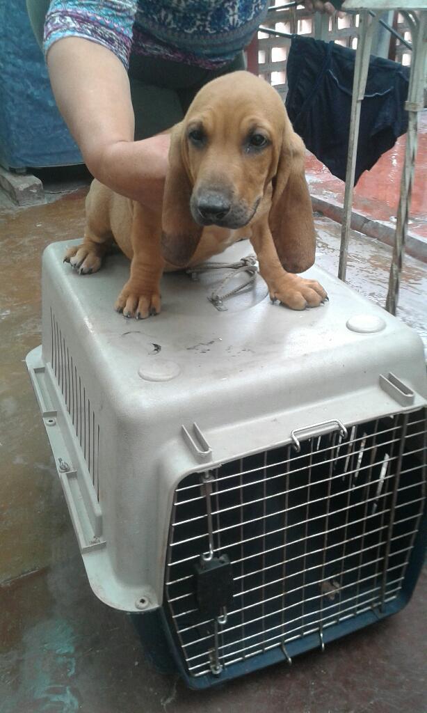 Se Vende Hermoso Cachorro Basset Hound