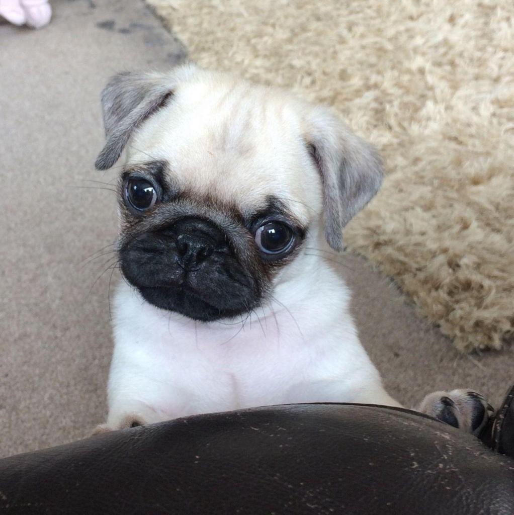 AKc Reg Pug Puppies A La Venta