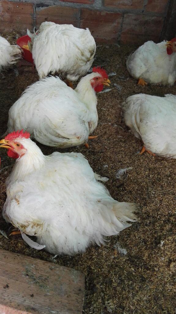 Venta de Pollo a Domicilio