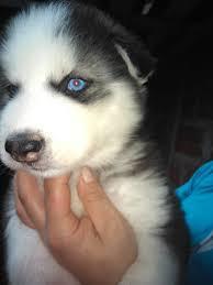 beatifull husky siberianos muy hermosos con ojos azules ya