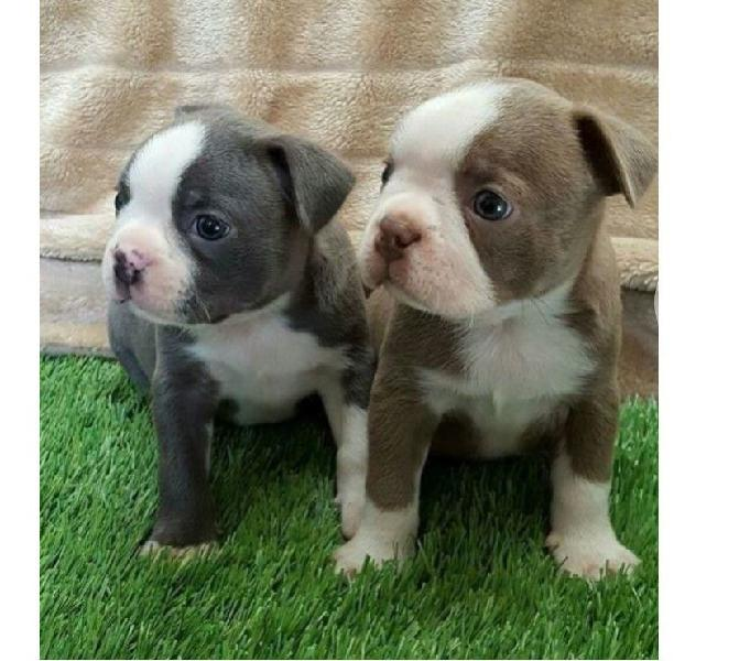 Vendemos Cachorros Favorables Boston Terrier
