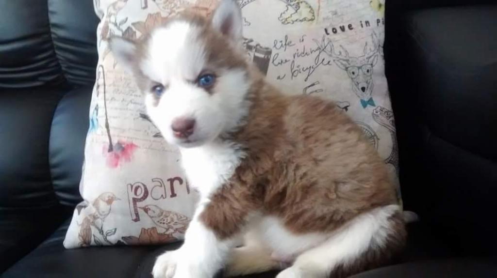 Garantizados Exclusivos Siberianos Husky
