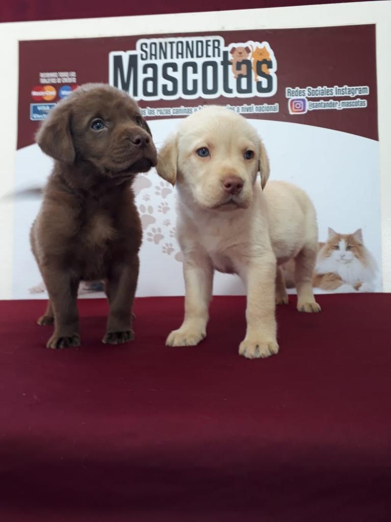 Labradores Maravillosas Mascotas Hym