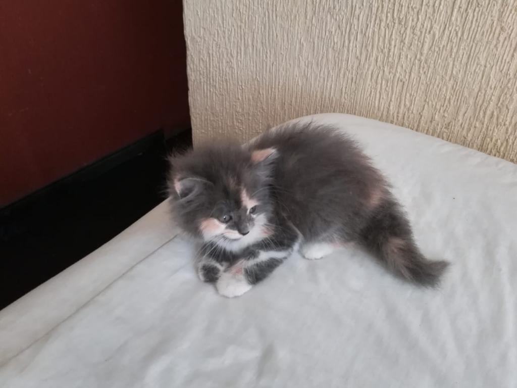 Espectacular Gatita Persa Angora Carey