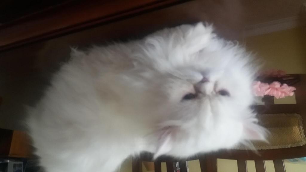 Gatica persa busca gato persa