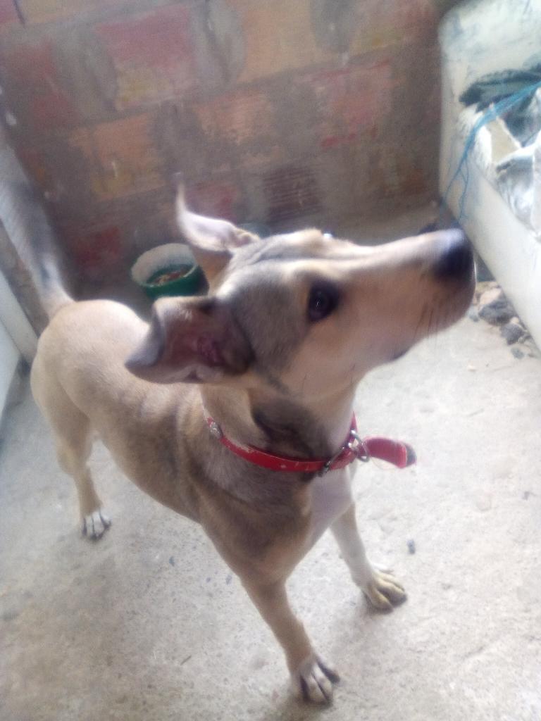 Doy en Adopcion Perra Enrasada con Pipbu