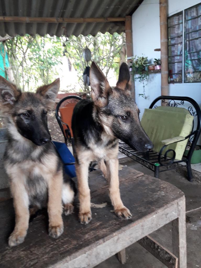 Vendo Cachorros Pastor Aleman de 3 Meses
