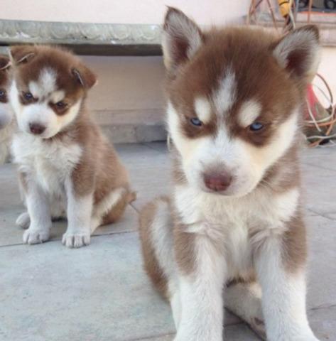 Amorosos Husky Siberiano Apasionados