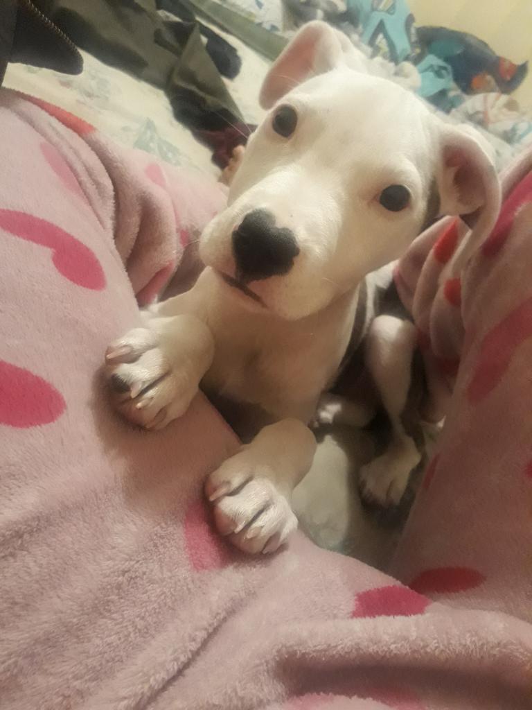 Doy en Adopción Hermosa Perra Pigbull
