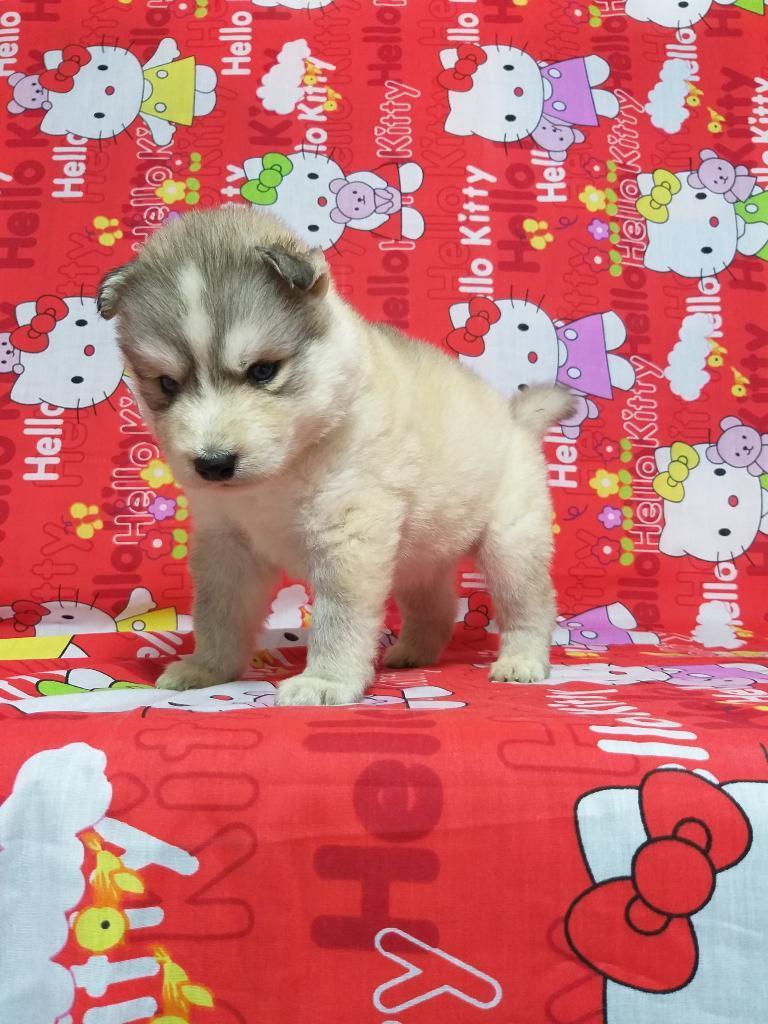 Husky Siberianos Unico en Su Raza