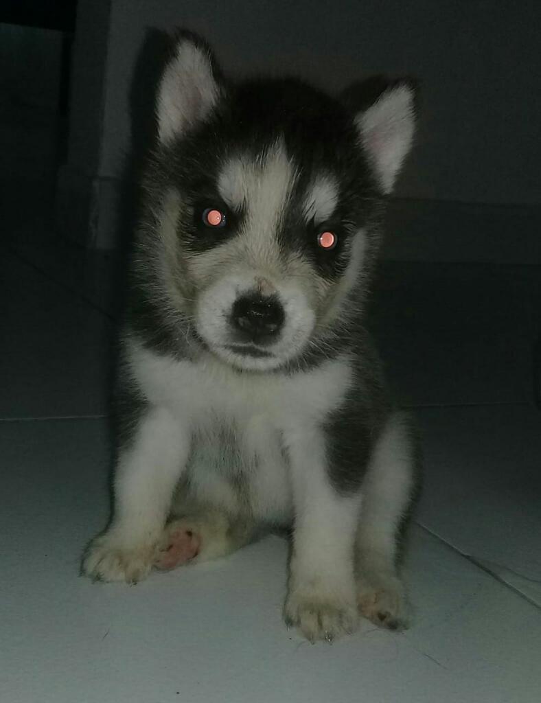 Vendo Cachorros Lobos Siberianos Husky