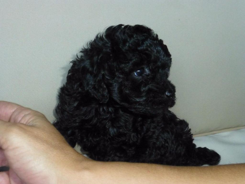 adopto french poodle mini toy