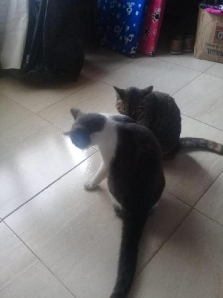 Damos en adopción a dos gaticos, son madre e hijo ambos