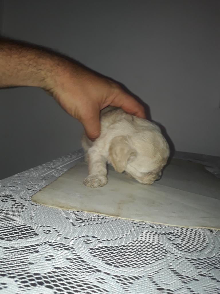 Oferta Poodle 1 Mes de Nacidos