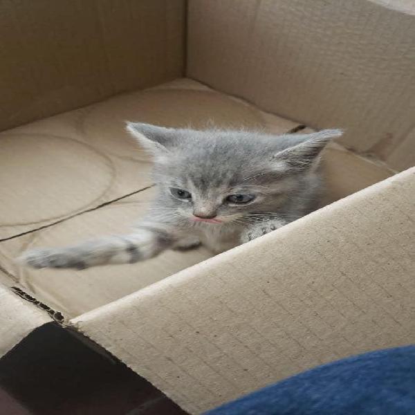 Adopción linda gatita