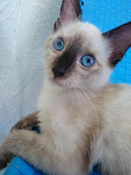 Hermosa Gatita Siamés! Ojos Azules