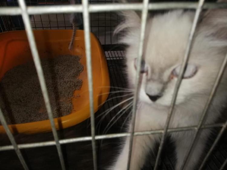 Vendo Gato Persa Clasico