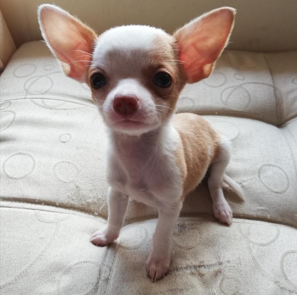 Hermosas Chihuahuas a La Venta