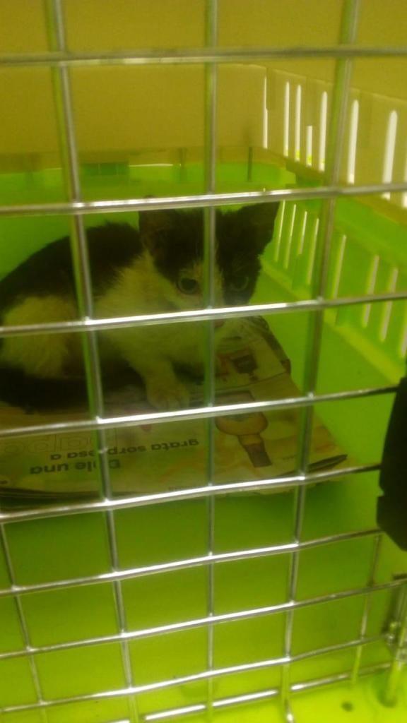 gatico de 3 meses y medio en adopción.