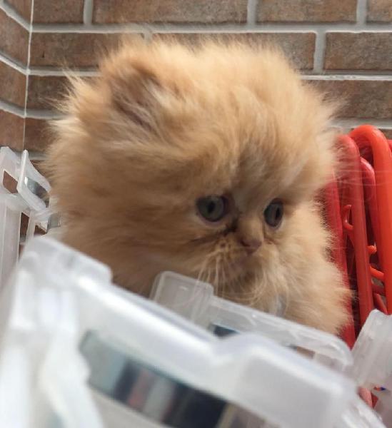 Vendo dos hermosos Gatos Persa