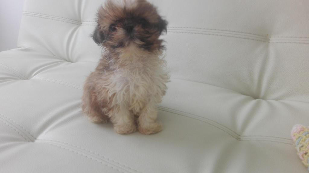 se vende hermoso cachorro raza shitzu