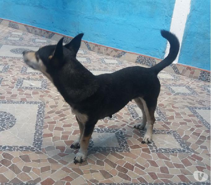Doy en adopcion una perra criolla