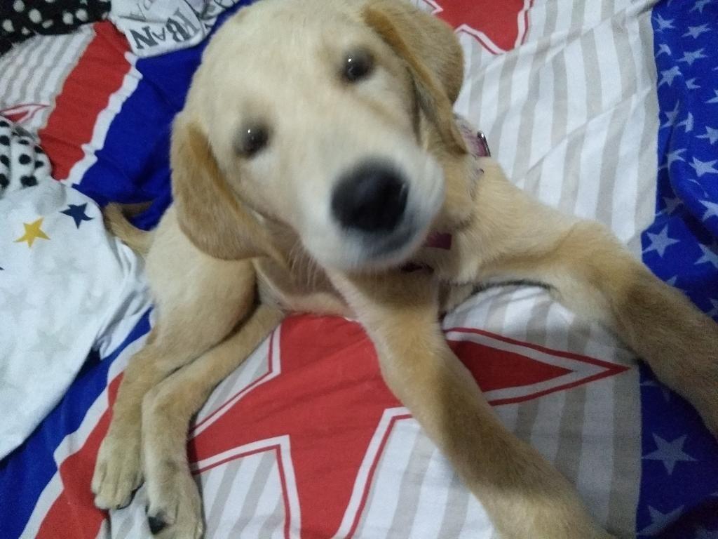 Labradora Golden 2 Meses Vacunada